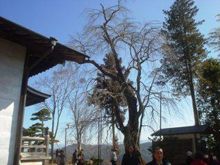 2013sakura_kensyu2_1.JPG