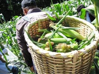 2010_corn1.JPG