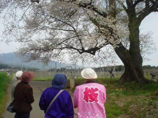 2013_sakuratour2.JPG