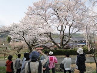 2014_sakuratour1_6.JPG
