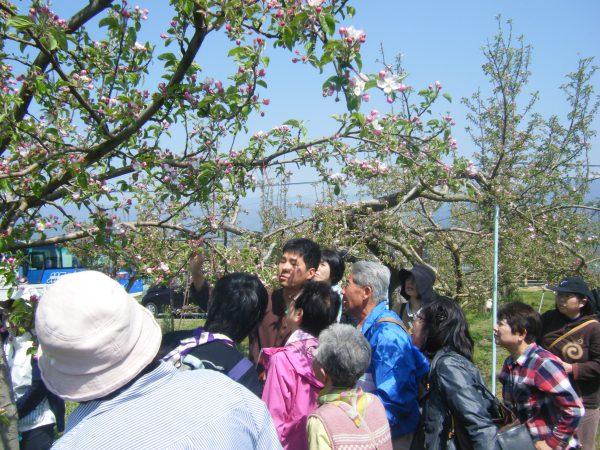 りんごの摘果(花) イメージ01