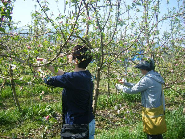 りんごの摘果(花) イメージ02