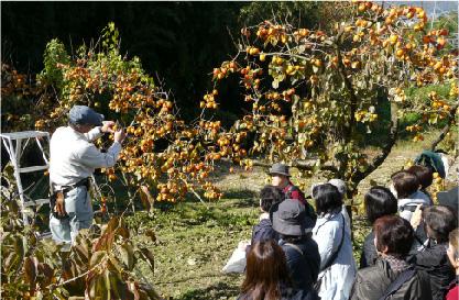 柿もぎ・干し柿作り イメージ01