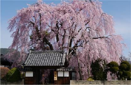桜守の旅 イメージ03